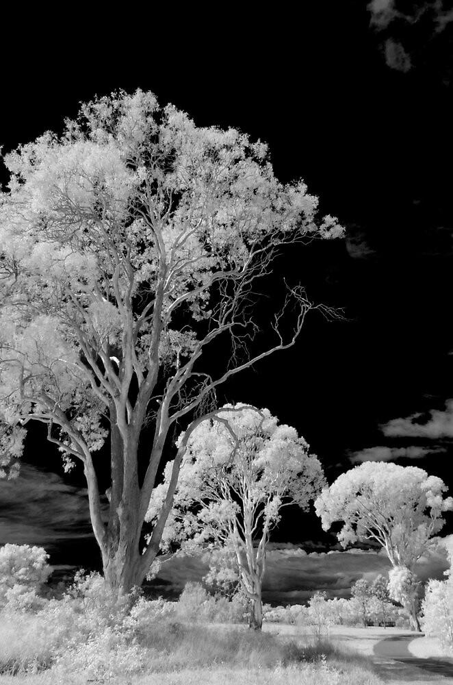 Hope Island Reserve - Infrared Trees 6 by spiritoflife