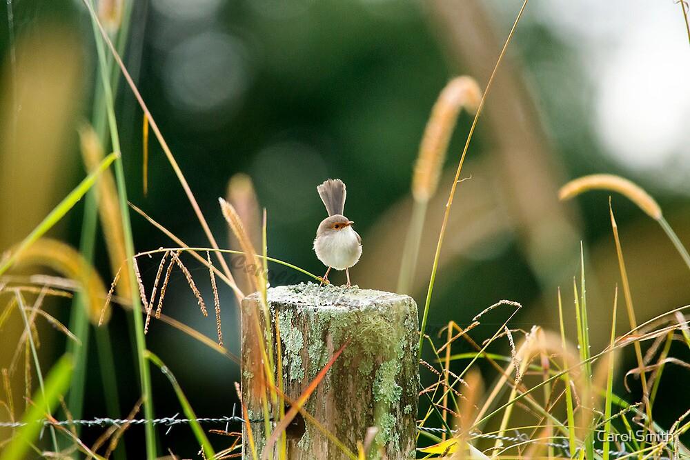 Supurb Fairy Wren by Carol Smith