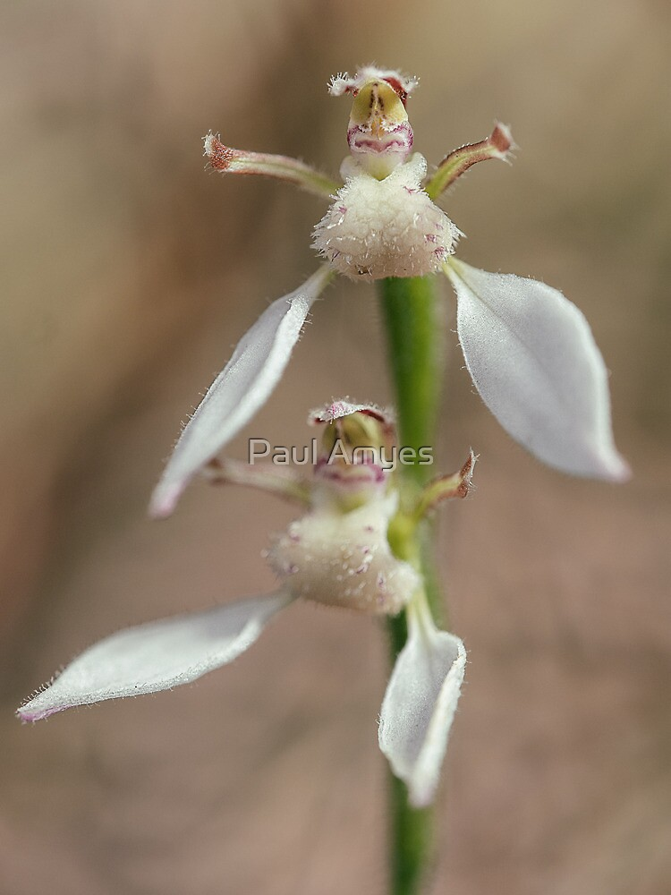 Crinkle-leafed Bunny Orchid by Paul Amyes