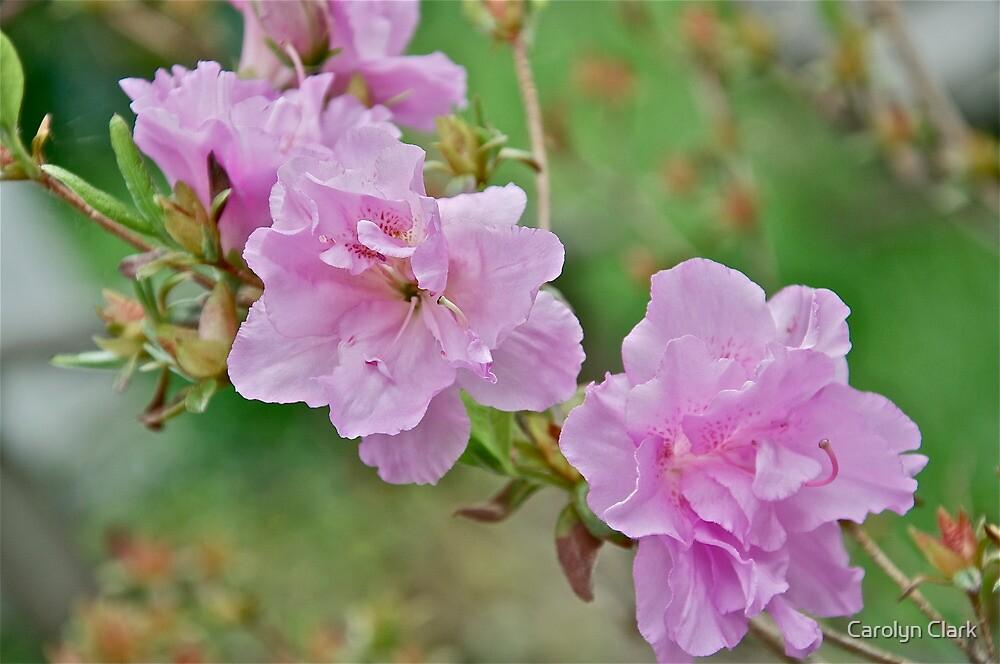 Pink Azalea 2 by Carolyn Clark