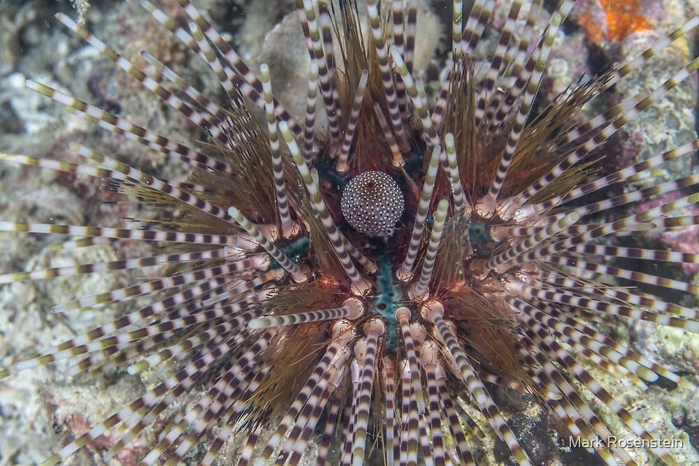 Striped Urchin by Mark Rosenstein