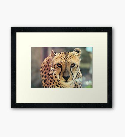 Cheetah (Acinonyx jubatus) Framed Print