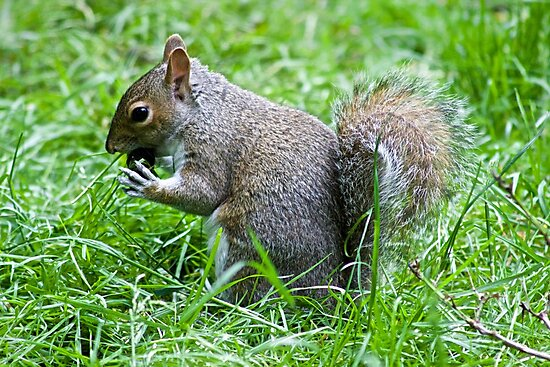 Squirrel eating nut by ejrphotography
