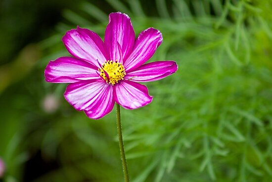 Pink Daisy by ejrphotography