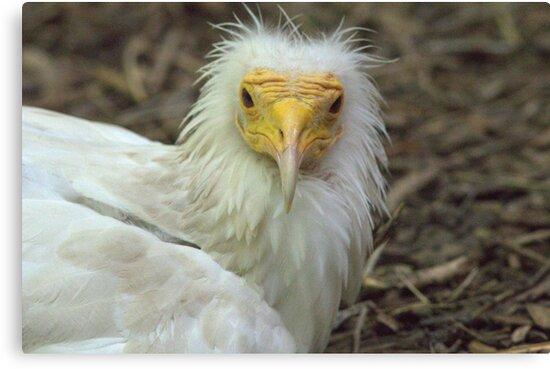Egyptian Vulture by starbucksgirl26