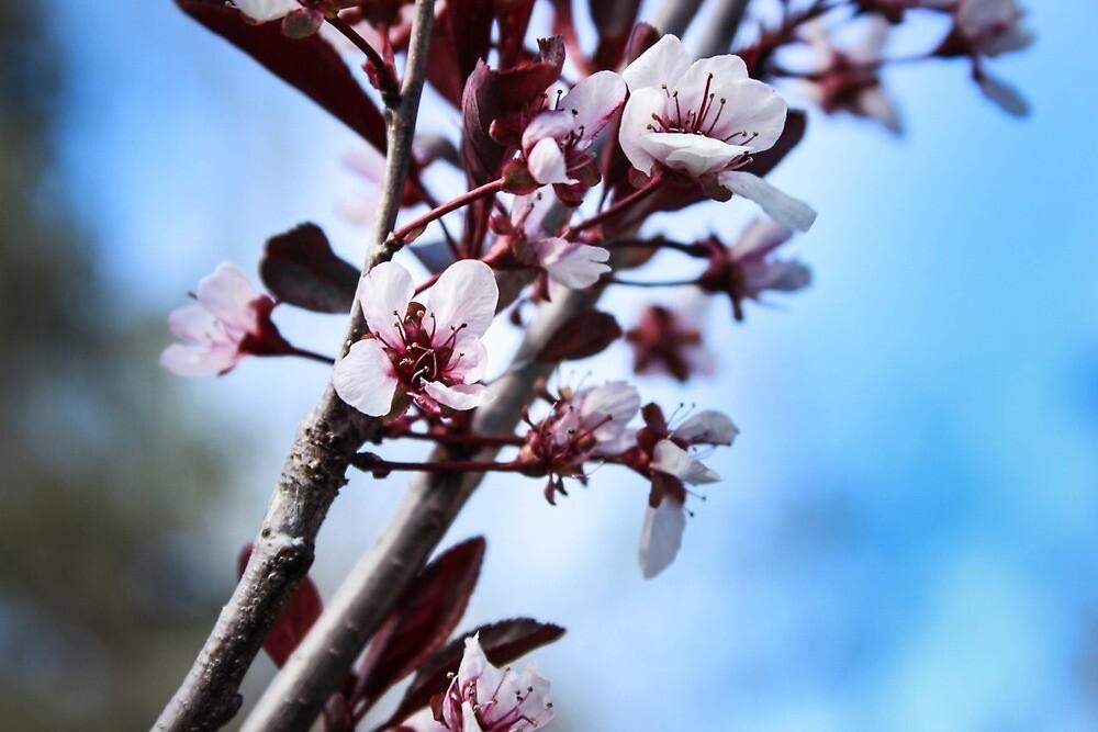 Blossoms by Rachel  Roderick