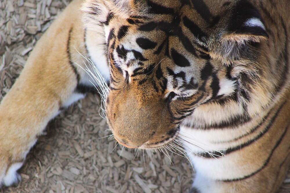 Tiger by Rachel  Roderick