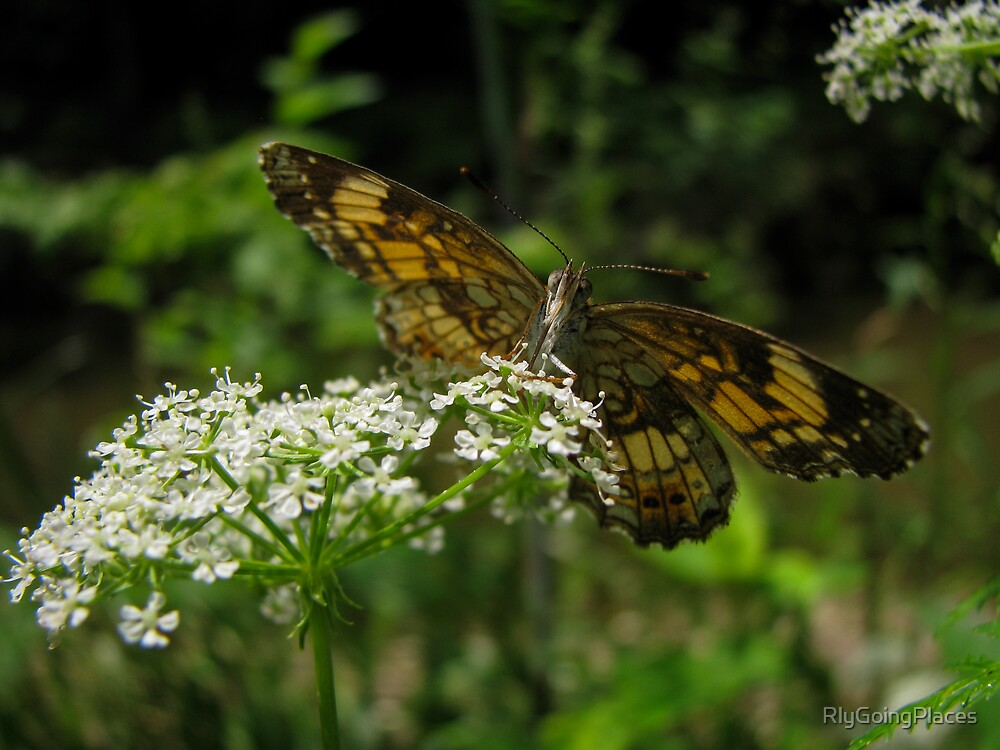 Silvery Checkerspot by RlyGoingPlaces