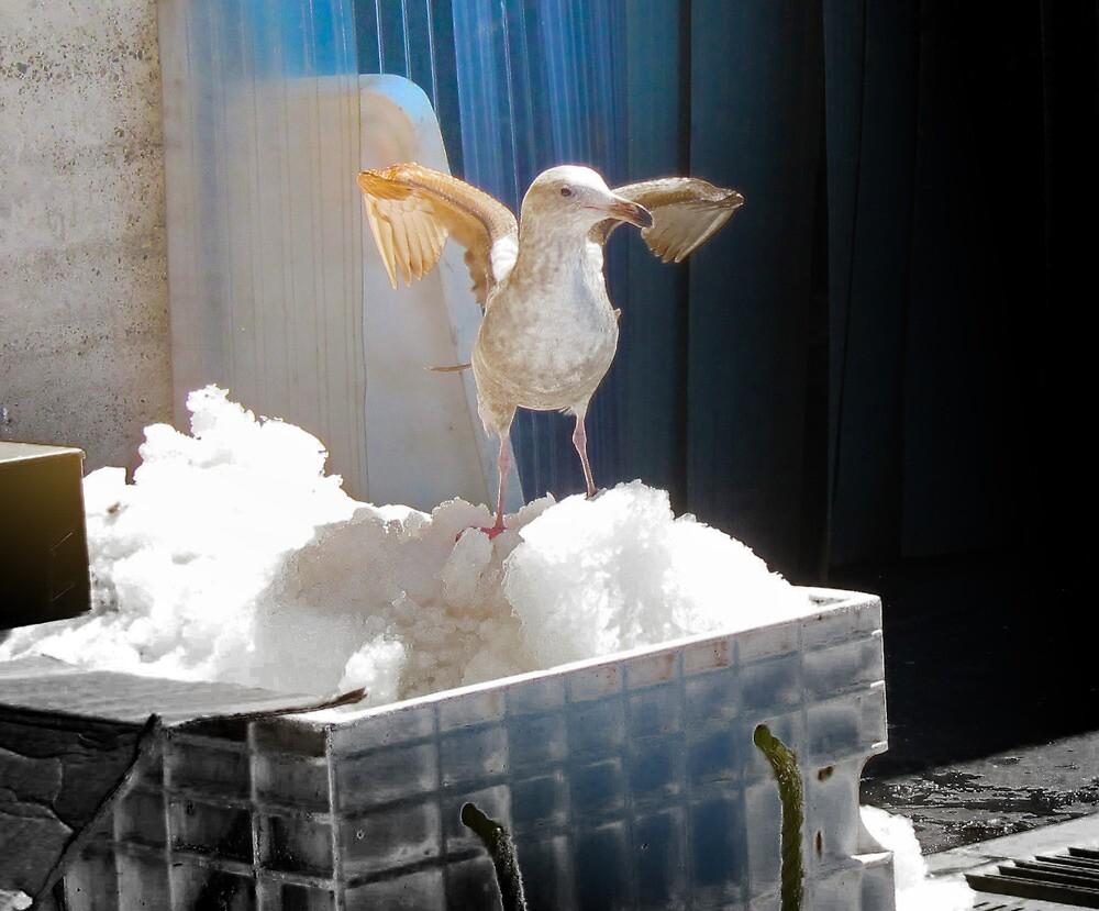 Gull on Ice by David Denny
