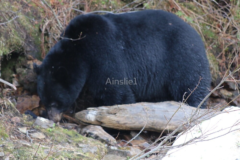 Black Bear in the wild, Canada by Ainslie1
