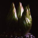 Cactus Flower Buds by Debja