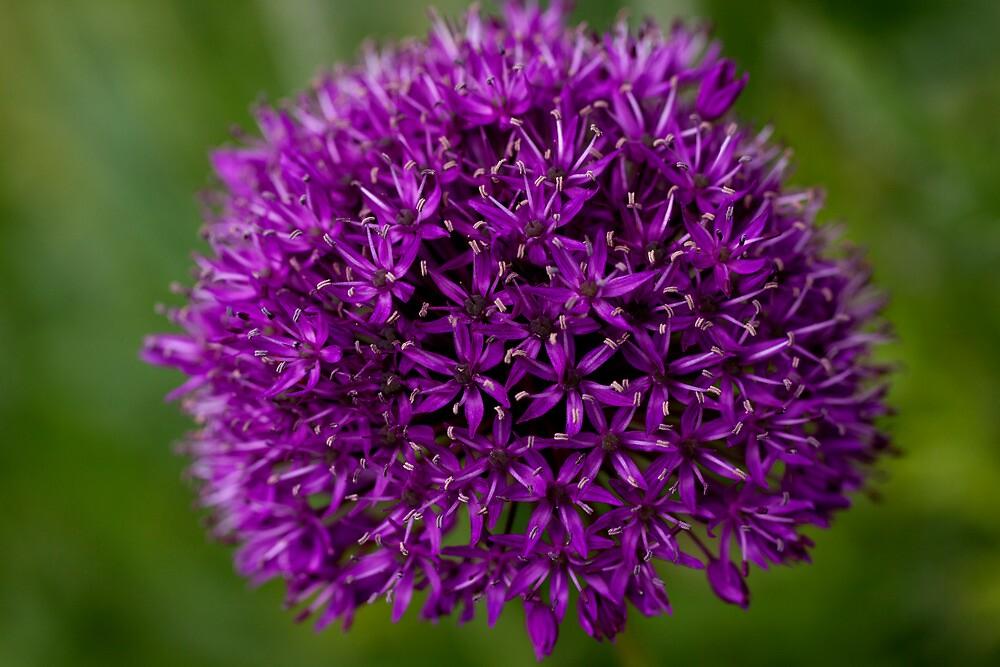 Allium by karasutherland