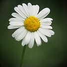 Daisy by Robert Worth