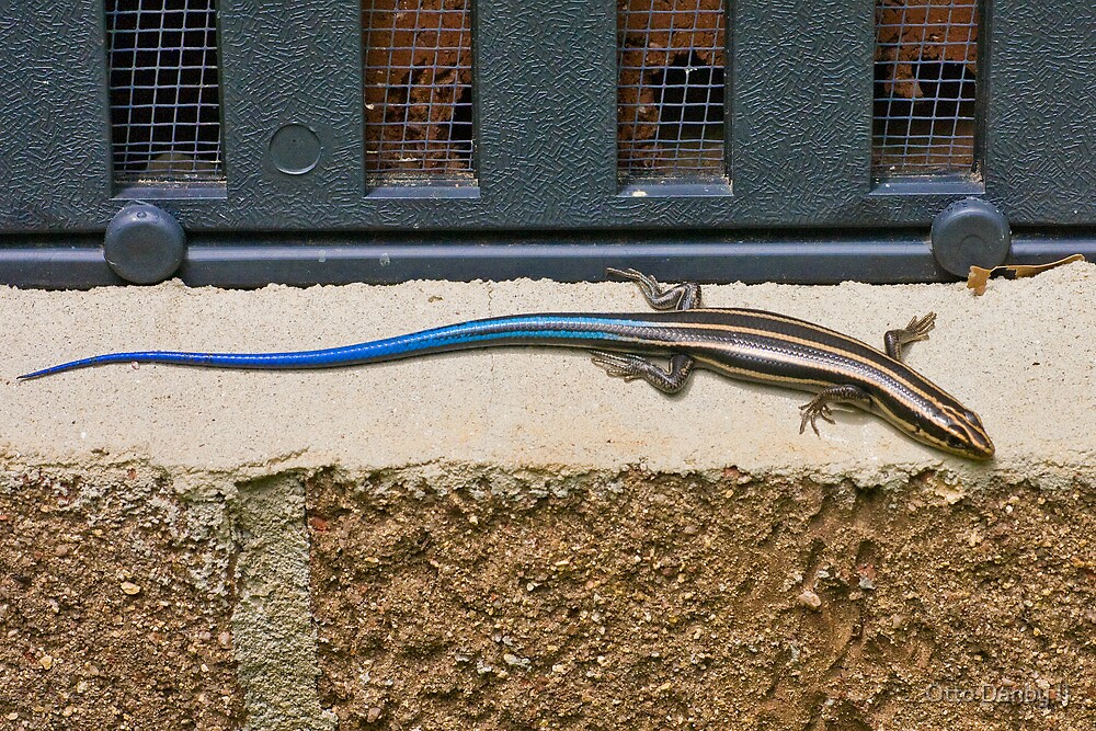 Five Lined Skink by Otto Danby II