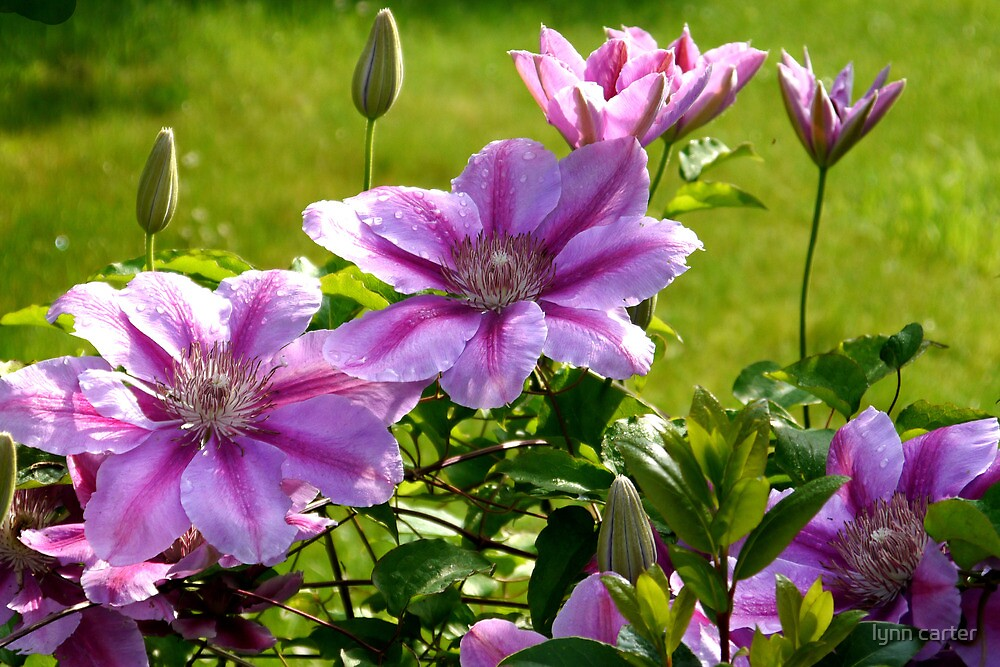 Pink Clematis by lynn carter