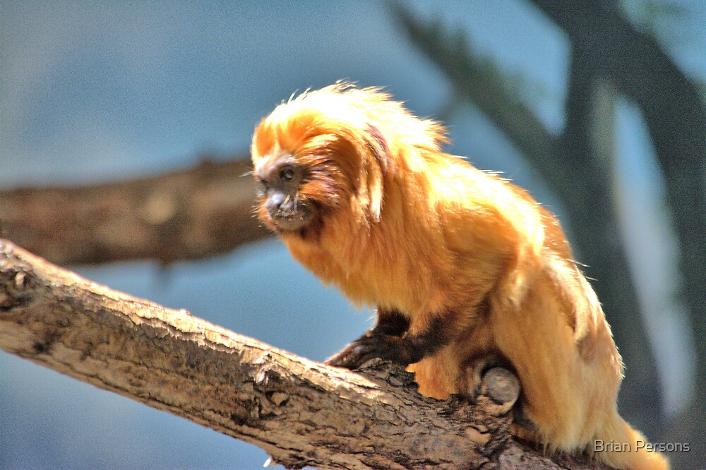 little monkey by Brian Persons