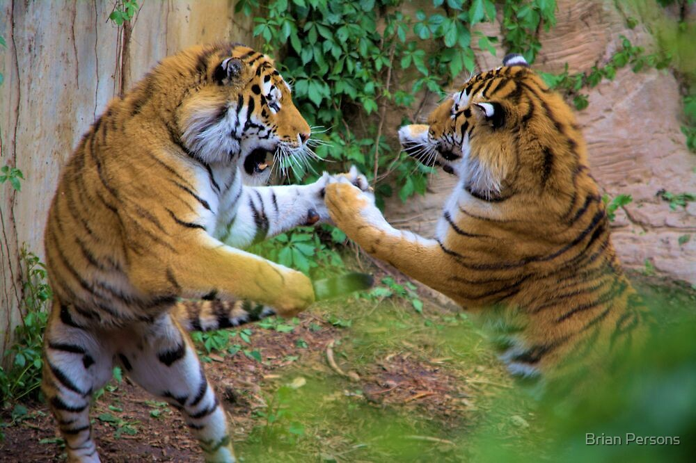 Tigerplay by Brian Persons