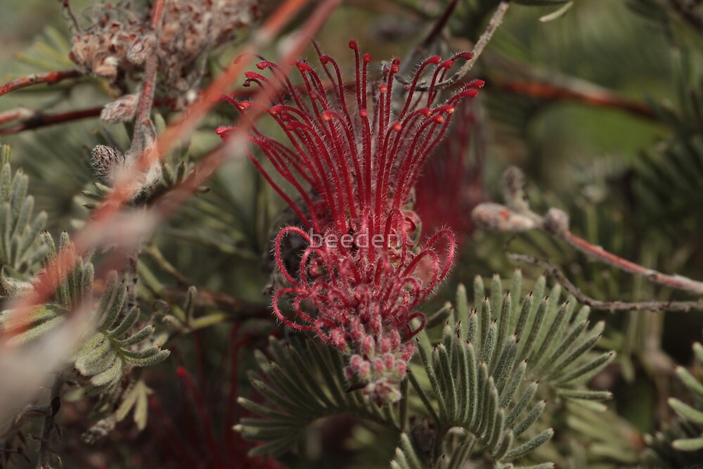 Australian Native 18 by beeden