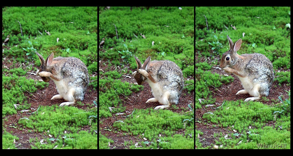 The Wise Bunny by WalnutHill
