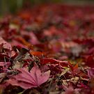 Maple Leaves by perfectexposure