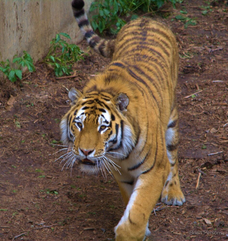 Tiger by Brian Persons