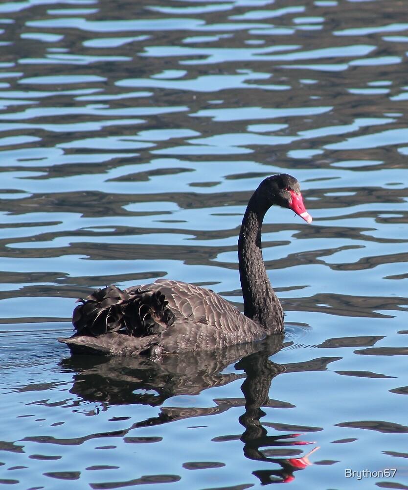 NZ Black Swan New Zealand by Brython67