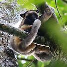 Mother and Joey - 2  - Lumholtz's Tree Kangaroo - FNQ  by john  Lenagan