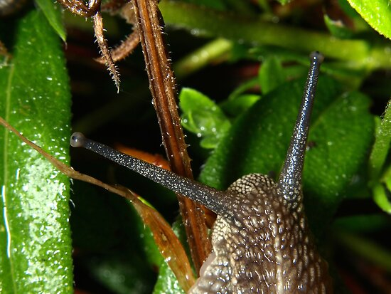 Common garden snail by turniptowers