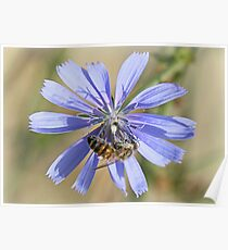 Honeybee on chicory Poster