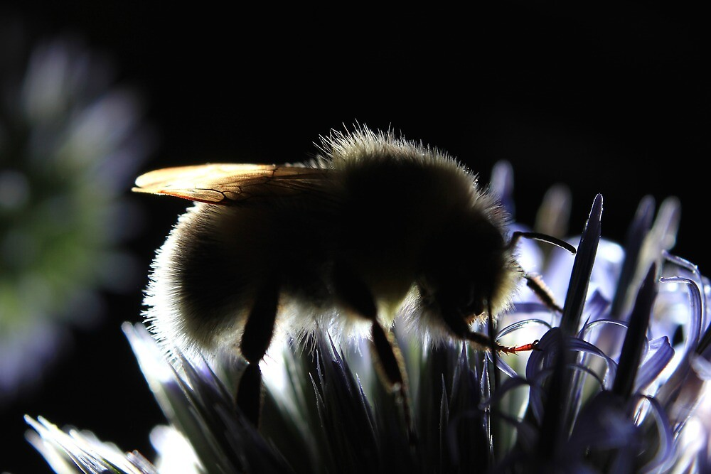 White-tailed bumblebee on globe thistle at sunset by turniptowers