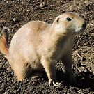 Prairie Dog by CreativeEm
