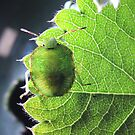 Immature common green shield bug by turniptowers
