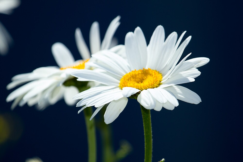 Daisies on dark background by RandyHume