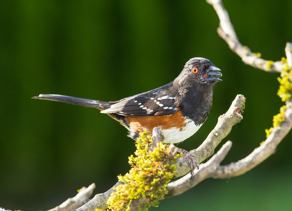 Spotted Towhee by RandyHume