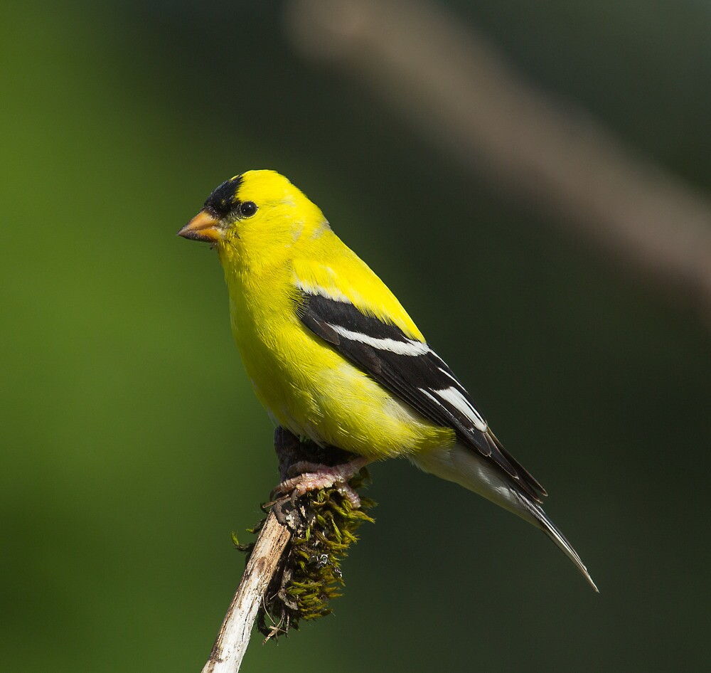 American Goldfinch by RandyHume