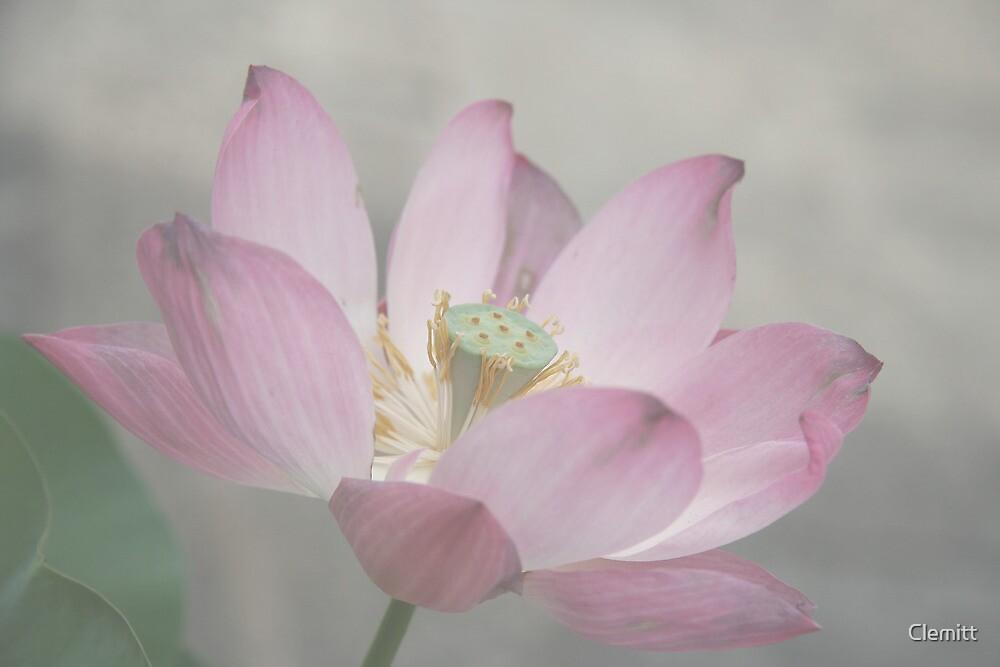 Lotus by Clemitt