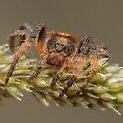 Wraparound spider - Dolophones sp. by Andrew Trevor-Jones