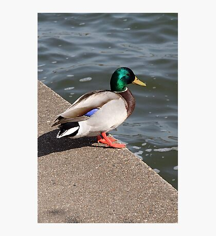 Daddy Duck  -  Father's Day Photographic Print