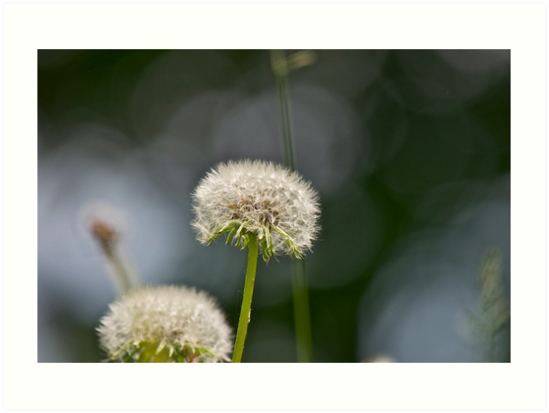Dandelion and abstract 2 by Carolyn Clark