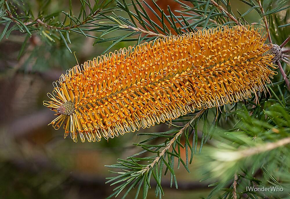 Australian Banksia by Yvonne Jetson