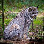 Lynx by RandyHume