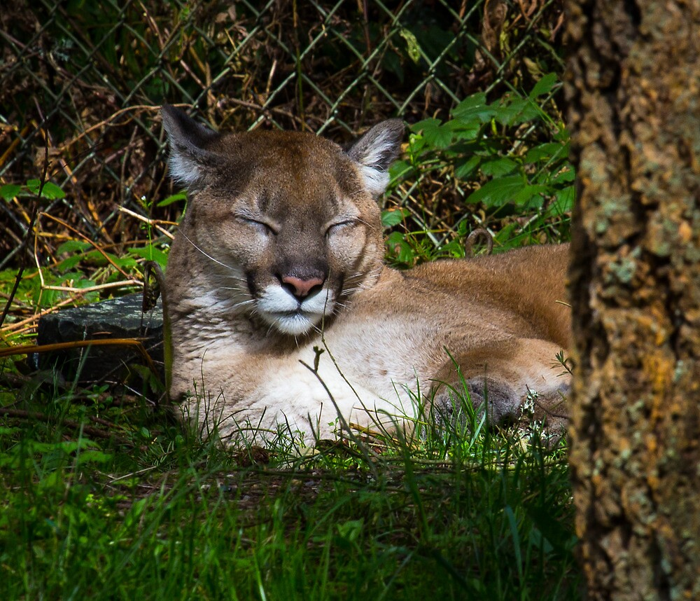 Mountain Lion by RandyHume