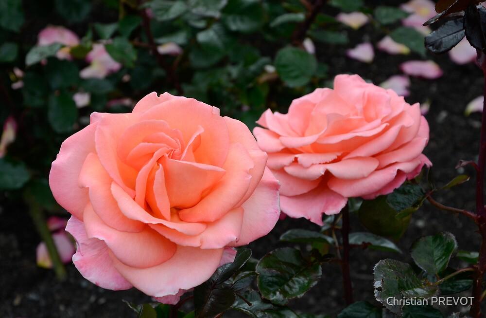 Roses duo in pink by DebbyScott
