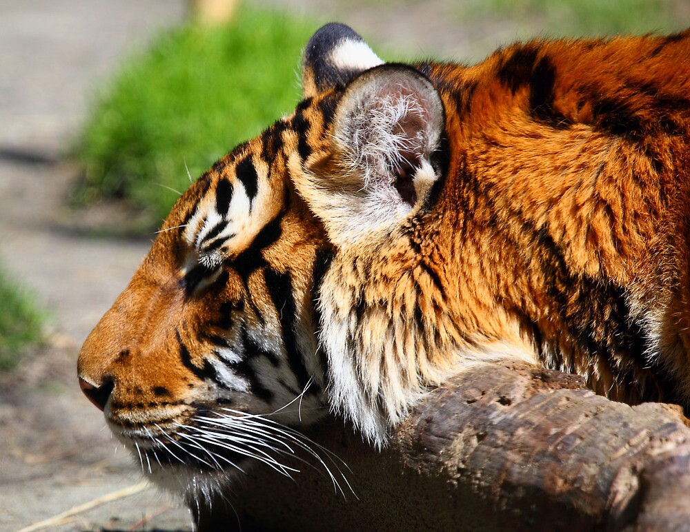 Sleeping Tiger by RandyHume