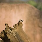 Meerkat by perfectexposure
