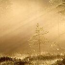 9.6.2014: Pine Tree in Morning Light by Petri Volanen