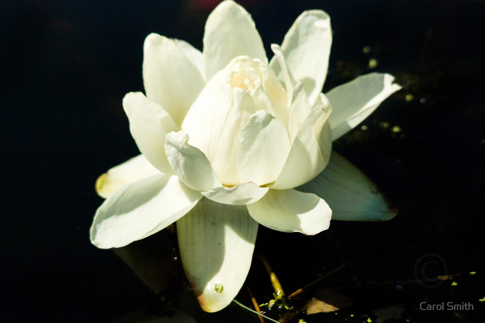 Waterlilly by Carol Smith