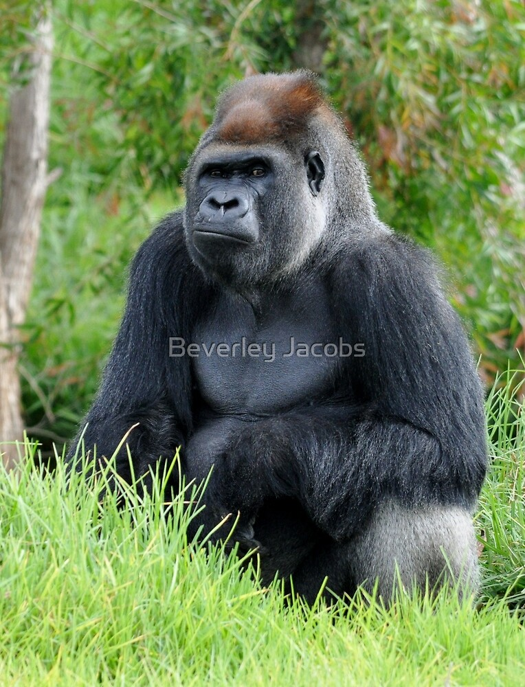 Silverback Gorilla by Beverley Jacobs