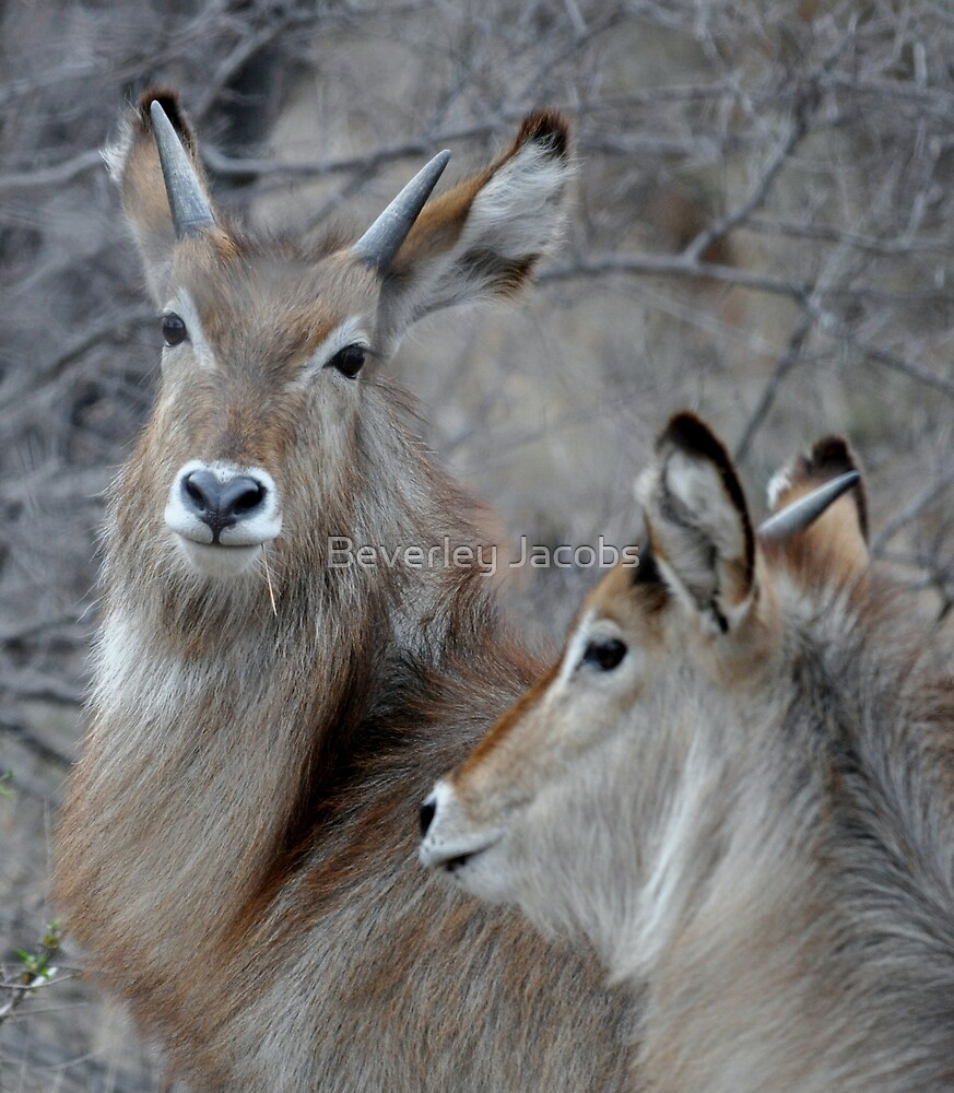 Young Waterbuck by Beverley Jacobs