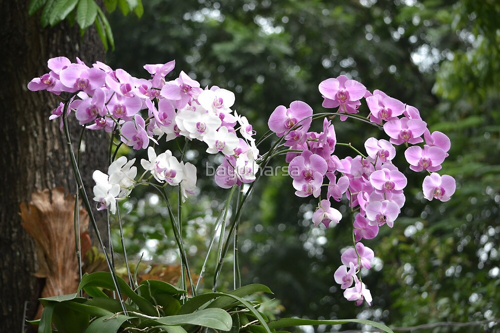 purple and white dendrobium orchid by bayu harsa